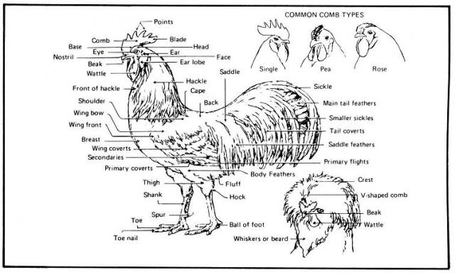 Diagram Of A Chickens Leg All Kind Of Wiring Diagrams
